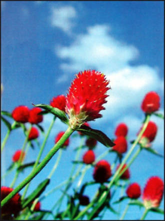 Mini Card La Prairie Red Thistle