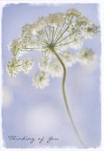 Thinking of You Card: Cow Parsley