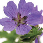 Mini Card Fab Flowers Geranium