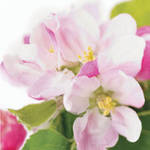 Mini Card: Fab Flowers Apple Blossom