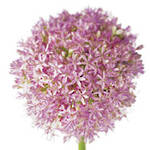 Mini Card Fab Flowers Allium
