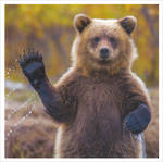 1000 Words: Bear Waving