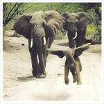 1000 Words: Elephants