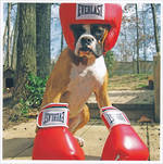 1000 Words: Boxer