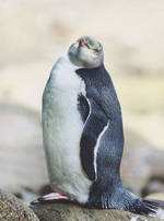 Pure NZ - Kiwiana: Penguin