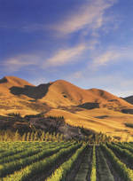 Pure NZ - Kiwiana: Vineyard Canterbury
